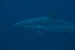 BD-150426-Maldives-8784-Carcharhinus-amblyrhynchos-(Bleeker.-1856)-[Grey-reef-shark.-Grå-revhaj].jpg